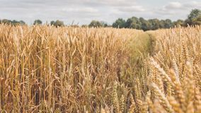 Open field with dry golden wheat spikes on sunny day ready for harvest before autumn.  Royalty Free Stock Image