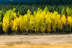 Open Field with Layers of Aspen Color Royalty Free Stock Photos