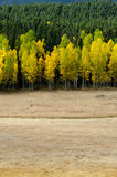 Open Field Leads to Changing Aspens.dng Royalty Free Stock Photo