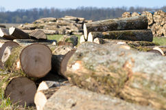 Open field with newly felled tree trunks Stock Photo