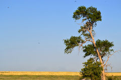 Open field with solo tree. Empty Field with Solo Tree and Birds Circling Royalty Free Stock Image