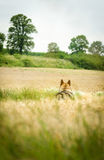 Open fields with tree and wolf Royalty Free Stock Photo