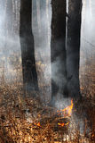 Open fire in the forest. After grass arson made by hooligans Royalty Free Stock Image