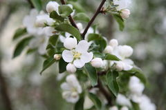 Open flower on a branch of Siberian apple. Flowers bloomed in May of Siberian branch of apple-growing in the holiday village Royalty Free Stock Photo