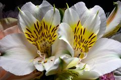 Open flower of white alstroemeria in bouquet royalty free stock photo