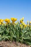 Open Gele dichte en tulpen in het veld stock fotografie