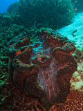 Open Giant Clam on Great Barrier Reef Australia Stock Images