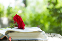 Open Glowing Bible with Red Rose raw Royalty Free Stock Photos