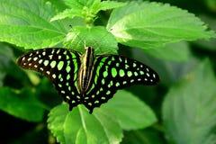 Open ha traversato Jay Butterfly volando munito fotografie stock