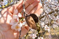 open hand die een geoogste amandel met een tak van amandelboom tonen met sommige witte bloemen aan het eind in een zonnige dag va royalty-vrije stock afbeelding