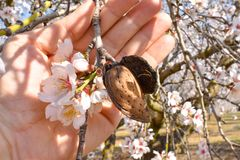 open hand showing a harvested almond with a branch of almond tree with some white flowers at the end in a sunny day of spring royalty free stock image