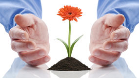Open hands with gerber daisy. Open hands surrounding a single orange gerber daisy growing in dirt. Isolated against a white background royalty free stock image