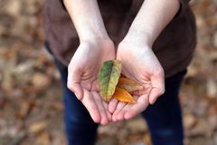 Open hands holding autumn leaves royalty free stock photography