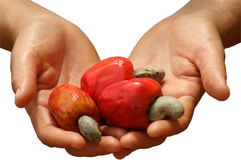 Open Hands Holding Red Cashew Fruit. Ripe red cashews in open hands over white background Stock Image
