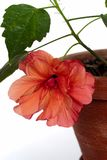 Open hibiscus in pot isolated Stock Image