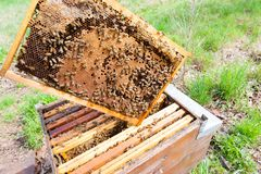 Open hive, beekeeping. Open hive detail. Beekeeping, agriculture, rural life Royalty Free Stock Image