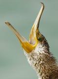 Open hooked bill of Great Cormorant Royalty Free Stock Photo
