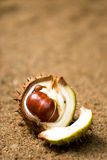 Open horse chestnut shell Stock Photography