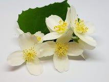 open jasmijnbloem met blad royalty-vrije stock fotografie