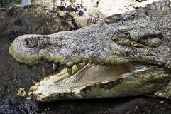 Open jaws crocodile Royalty Free Stock Photos
