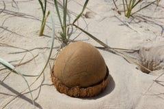 open Kokosnoot op het strand in regenboogstrand, Queensland, Australi? De Kokosnoot kijkt als een dinosaurusei stock afbeelding