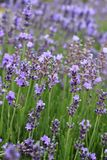 Open lavender flowers Stock Image