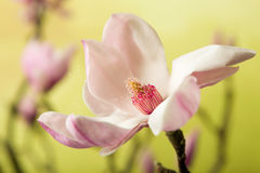 Open magnolia Royalty Free Stock Images