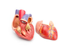 Open model of human heart showing inside. Open model of human heart showing internal construction isolated on white background stock photos
