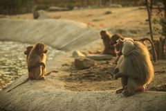 Open mouth baboon and young monkeys in the zoo stock image