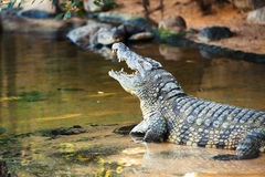 Open mouth crocodile in the water. Stock Images