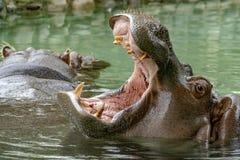 Open mouth hippo. Close up stock photos