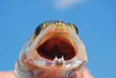 Open mouth of pike-perch closeup Royalty Free Stock Image
