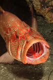 Open mouth rockcod. A close up on a open mouth tomato rockcod, KwaZulu Natal, South Africa Royalty Free Stock Photography