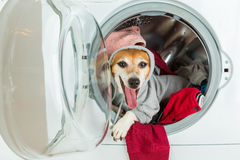 Open mouth screaming talking funny dressed dog lying inside washing machine. Stock Images