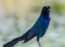 An Open Mouthed Boat Tailed Grackle Royalty Free Stock Images