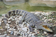 Open-mouthed crocodile. Sunbathing  in the zoo Stock Photo
