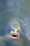 Open mouthed fish looking straight at viewer Stock Photography