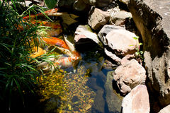 Open Mouthed Fish. Fish in a pond looking for lunch royalty free stock images