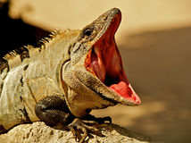 Open mouthed iguana. Iguana, a reptilian inhabitant of Mexico, with mouth wide open Royalty Free Stock Photos