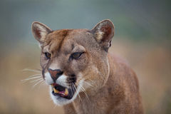 Open Mouthed Lion Royalty Free Stock Photos