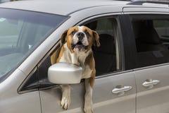 Saint Bernard dog with torso out of car window barking stock photo