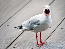 Open mouthed seagull Royalty Free Stock Photos