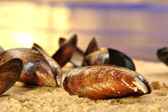 open mussel on a sandy beach Royalty Free Stock Photography