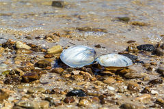 Open mussel shell on the sand Royalty Free Stock Images