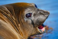 Open muzzle, tooth and tongue. Elephant seal from Falkland islands with open muzzle and big dark eyes, dark blue sea in background Royalty Free Stock Image