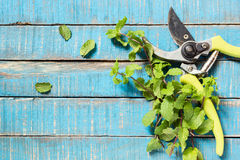 Open old pruner with mint Royalty Free Stock Photos