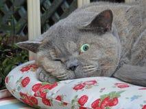 Open oogkat die waakzame vooruitzicht ras Britse shorthair slapen royalty-vrije stock afbeelding