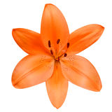 Open Orange Lily Flower Isolated on White Background Stock Photo
