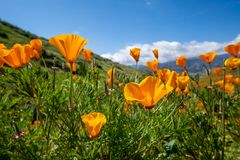 Open orange poppies bloom in Walker Canyon in Lake Elsinore California during the 2019 superbloom.  stock photos