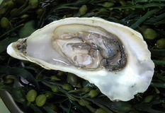 Open oyster Stock Images